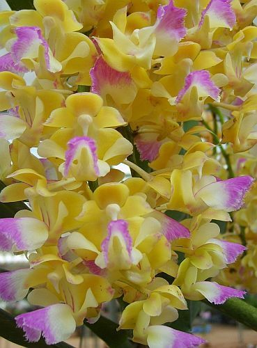 Aerides houlettiana, orchids