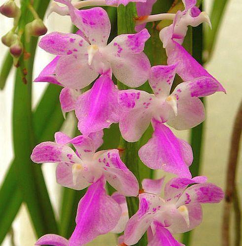 Aerides rosea, orchids