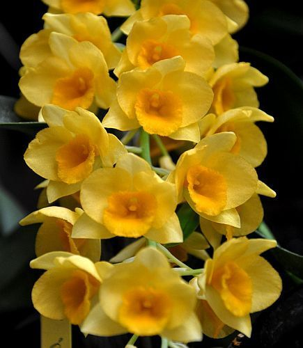 Dendrobium griffithianum, orchids