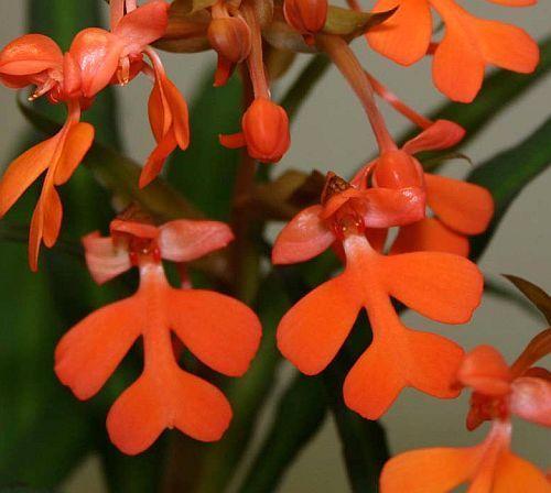 Habenaria rhodocheila, orchids