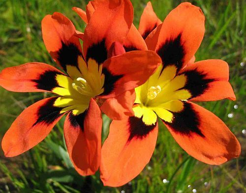 Sparaxis tricolor - Harlequin flower seeds Tomato Plant Flower To Fruit