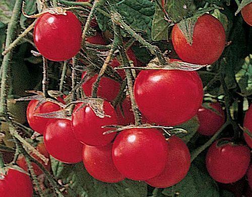 Tomate-Gartenperle-Cocktail-Tomate-Tomatensamen